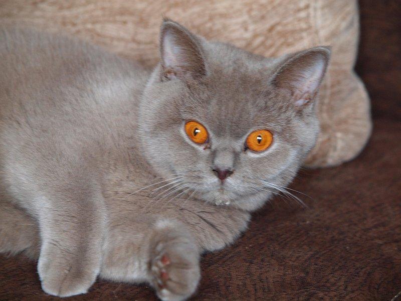 Koty Brytyjskie Koty Egzotyczne Poznań śrem Hodowla Black