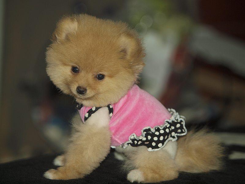 Psy Yorkshire Terrier, Psy Cavalier King Charles Spaniel ...