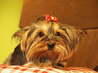 Kala - Yorkshire Terrier